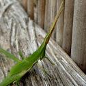 Stick grasshopper