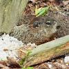 Groundhog or Woodchuck