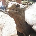 Hybrid Galapagos Tortoise