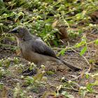 Large grey babbler