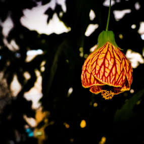 red by Thiago Silva - Flowers Single Flower