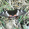 Common Mormon(Female)