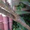 Ti leaf