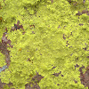 Lemon Color Lichen