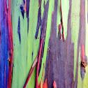 rainbow eucalyptus, Mindanao gum, or rainbow gum