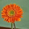 Gerber daisy, Transvaal daisy, Barberton daisy daisy