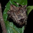 Araneus dehaani