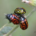 Calligraphy beetles