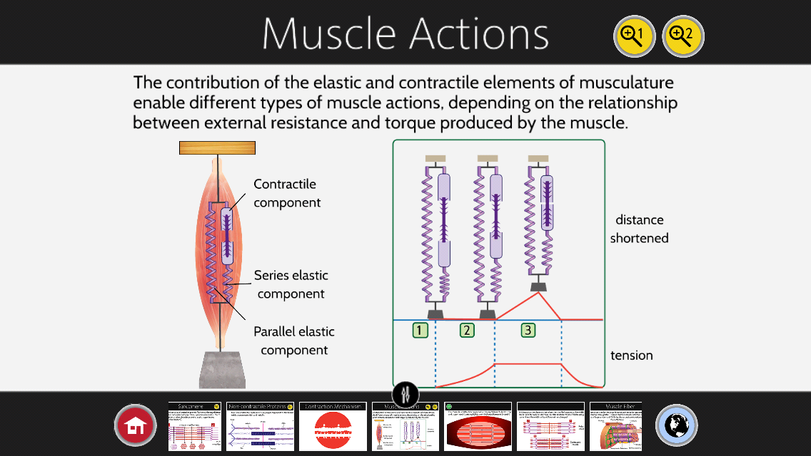 biochemistry of muscle contraction Muscle - twitch and tetanus responses: skeletal muscles respond to a single electric shock of sufficient magnitude by rapid, intense contractions called phasic contractions if the ends of a frog sartorius muscle (at 0 °c) are fixed to prevent shortening, the tension increases for about 200 milliseconds and then begins to decrease, at first.