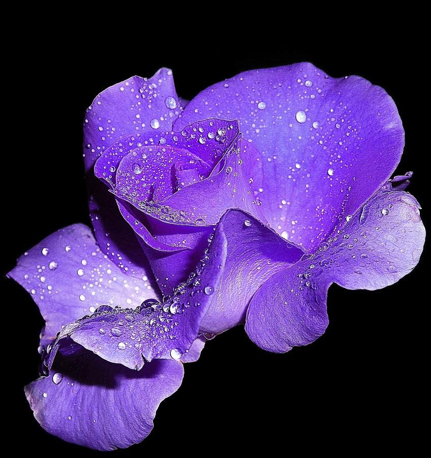 Purple rose for my Princess .... by Милан Јакшић - Flowers Single Flower ( love, prayer, princess, god, nature, roses, flowers, garden, tears,  )