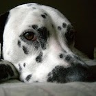 Dalmatians Live Wallpaper icon