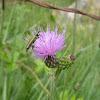 False blister beetle. Escarabajo oedemérido