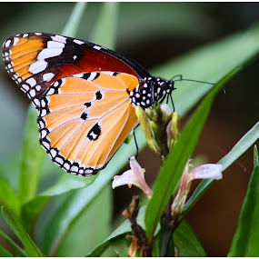 by Rajkumar Biswas - Animals Insects & Spiders ( butterfly, color, wings, flower )