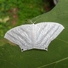 Micronia Moth