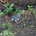 Blue Jay (fledgling)