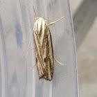 Timber Moth
