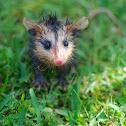 White-eared opossum (baby)