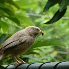 Yellow Billed Babbler