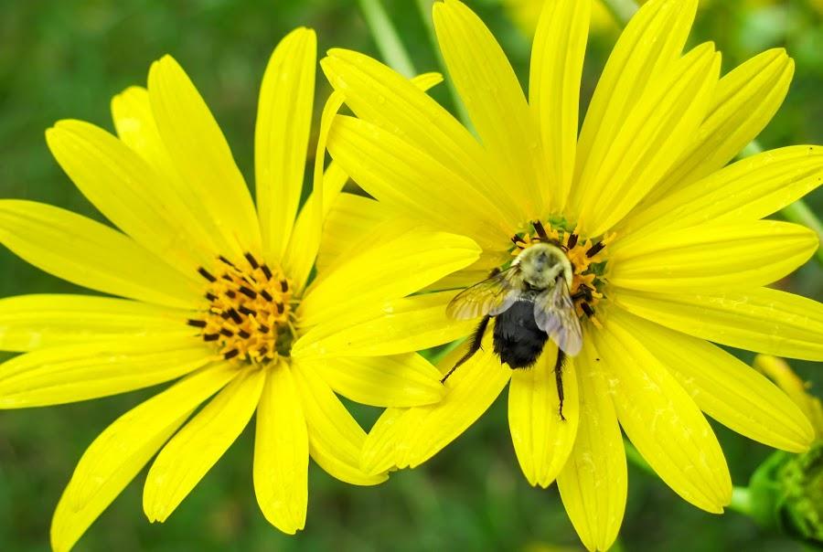 Flower and Bee by Vaibhav Jain - Flowers Flower Gardens ( plant, beautiful flower, orange, green, leaf, yellow, leaves, buds, red, bugs, wet, garden, flower, rain, closeup, purple, color,  )