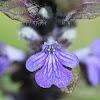 Buggleweed