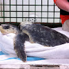Kempis Ridley turtle