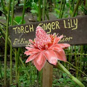 Torch Ginger Lily