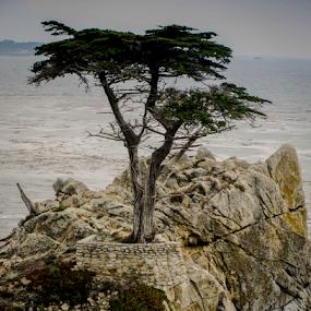 Lone Cypress by Dory Formiller - Uncategorized All Uncategorized (  )
