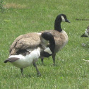 Canada Geese part 2