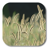 Bristle Grass Live Wallpaper