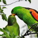 Red Winged parrot, Crimson winged parrot