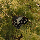 Lime Swallowtail/Common Lime