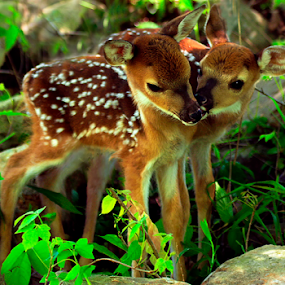 Buddies  by William Rainey  - Animals Other ( love, babies, friends, happy, hunting, wildlife, hiking, photography, arkansas,  )