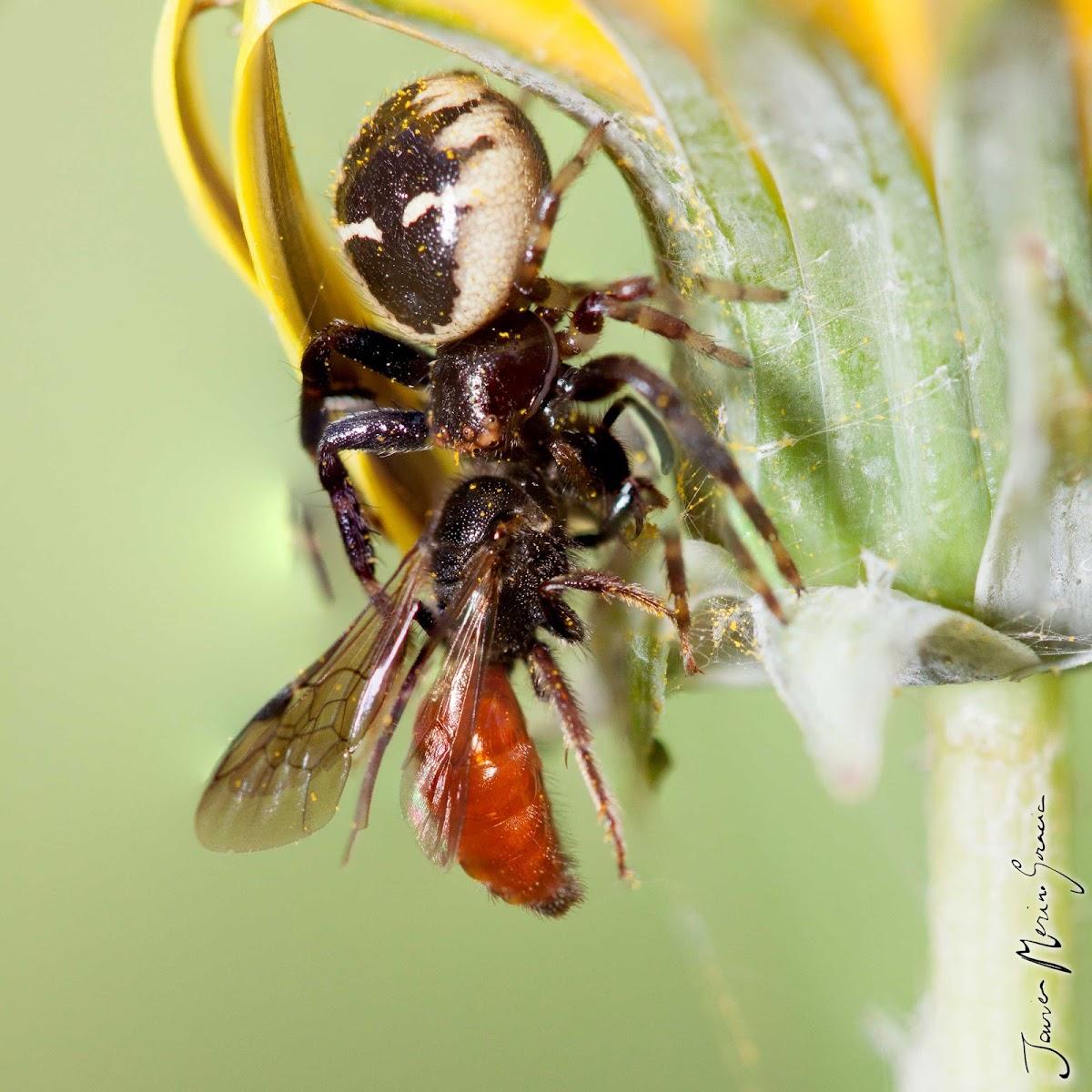 Araña napoleón
