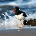 American Pied Oystercatcher