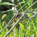 Fiery Skimmer Dragonfly (Male & Female)