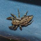 Große Rindenspringspinne / Jumping spider