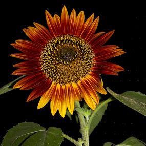 Sunflower_DifferentStrokes.jpg
