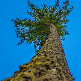 It's up there somewhere. by Gerard Toney - Nature Up Close Trees & Bushes ( tree, high up, douglas fir, trees, tall, fir )
