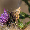 Mallow Skipper Butterfly