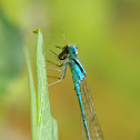 Common Blue Tailed Damsel Fly