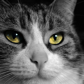 electric eyes by Sorin Rizu - Animals - Cats Portraits ( cat, electric, portrait, eyes, black&white, #GARYFONGPETS, #SHOWUSYOURPETS, , black and white, animal )