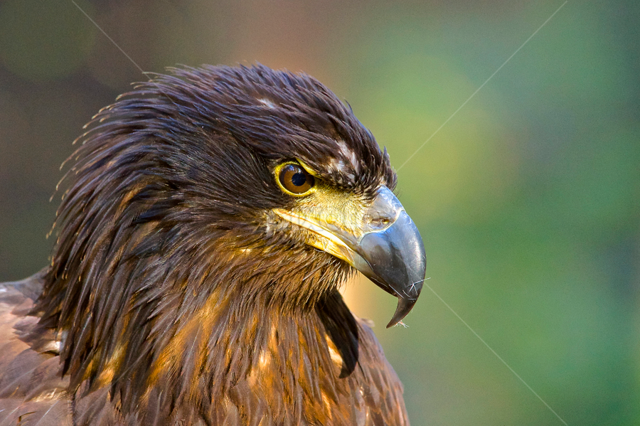 Lily, Juvenile Bald Eagle by Roy Walter - Animals Birds ( animals, bald eagle, captive, raptor, birds, carolina raptor center )