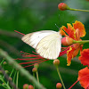 Pieridae Butterfly - Mariposa