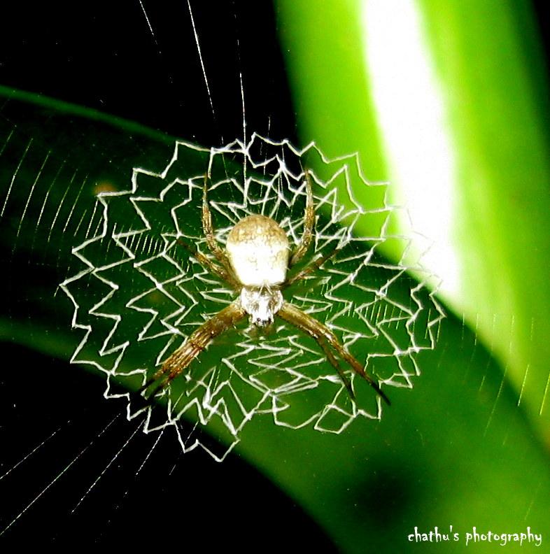 Argiope (spider)