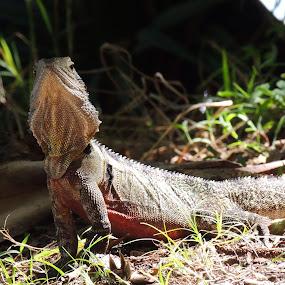 Frilled Neck Lizard by Di Mc - Novices Only Wildlife ( lizard, australian, australia, reptile, animal,  )