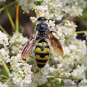 Scoliid Wasp (female)