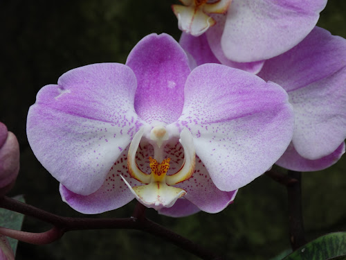 by Iain Weatherley - Flowers Single Flower ( beautiful flower, orchid, orchids, single flower, flowers, flower, purple flower,  )