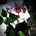 Hibiscus / Gumamela