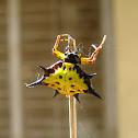 spiny backed orbweaver