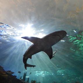 Shark by Dave Davenport - Animals Fish ( water, fish, silhouette, aquarium, shark,  )